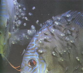 Consejos para la cr a de peces for Como hacer un criadero de peces