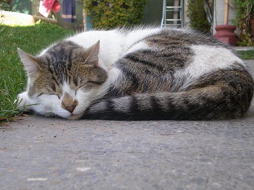 El gato, uno de los animales que más duerme