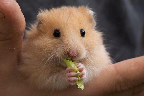 Hamsters comiendo