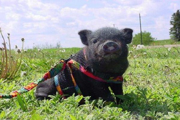 Cachorrito de cerdo vietnamita