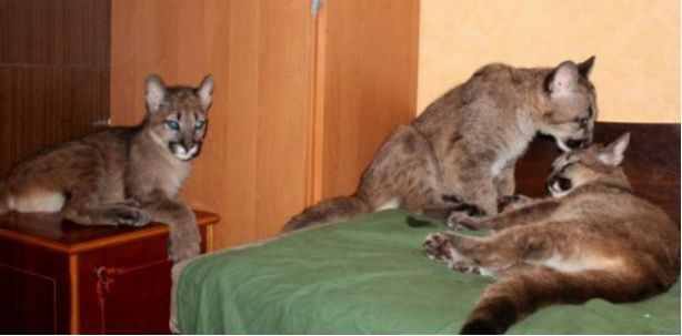 Pumas como mascotas