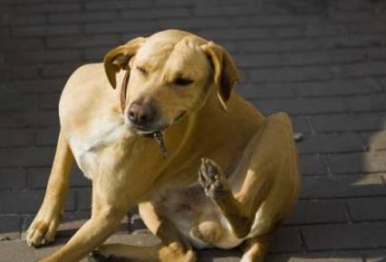 Perros y garrapatas