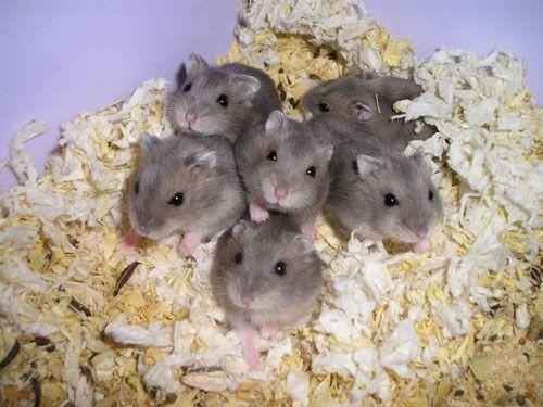 consejillos para cuidar hamster
