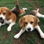 Los Beagle, una bonita raza de perros
