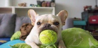 Perro y pelota de tenis