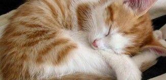 Gato doméstico dormido