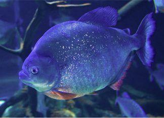 Piraña en su acuario
