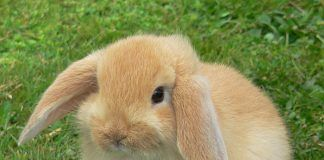 Conejo Belier miniatura