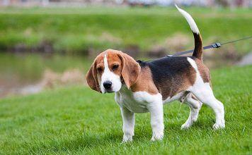 Beagle de paseo