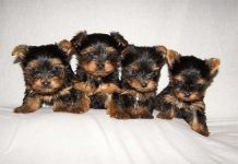 Cachorritos de Yorkshire Terrier