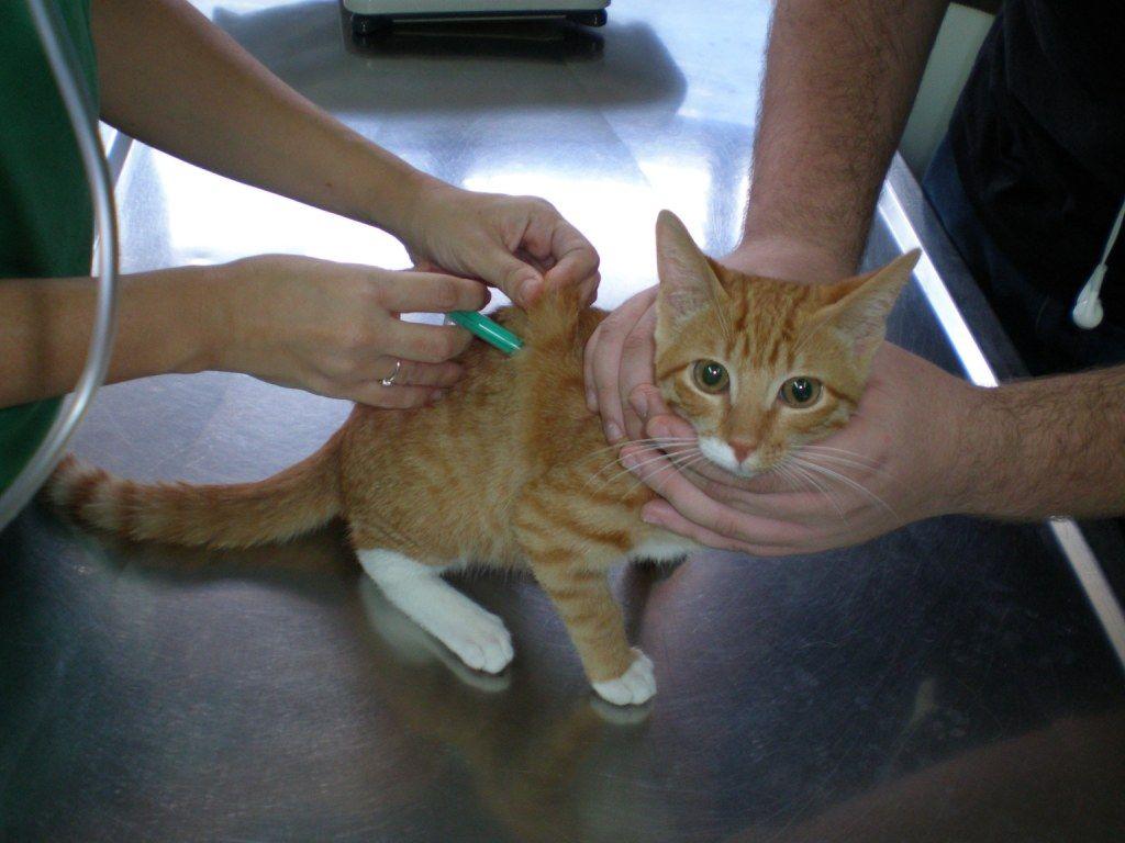 Vacuna en un gato pequeñito