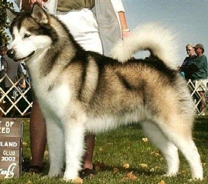 Porte del perro Alaska Malamute