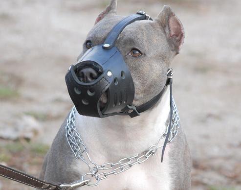 Perro Pitbull con bozal