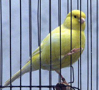 Canario amarillo en su jaula