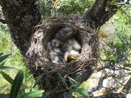 Polluelos en el nido