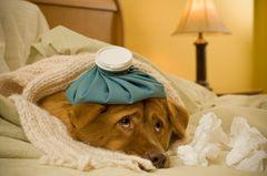 Resfriado perros