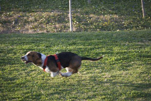 Perro corriendo en el campo