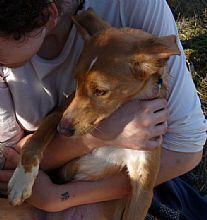 Dehesa, perra en adopción