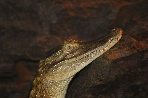 Caiman como mascota