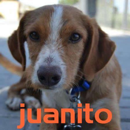 Juanito, perro en adopción