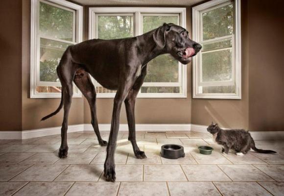 Zeus, perro galgo más alto del mundo