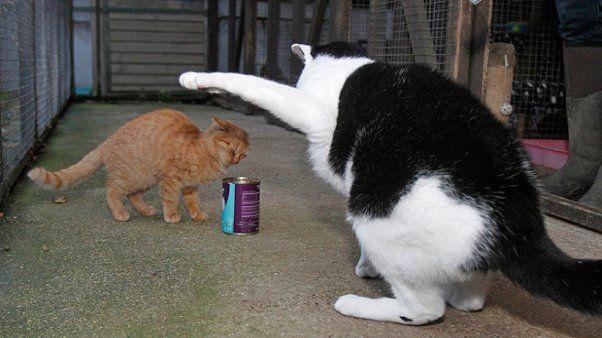 Judas gato obeso