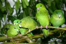 Periquito Barrado Verde