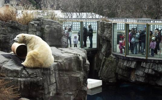 Gus oso polar