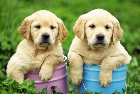 Cachorros de Labrador Retriever
