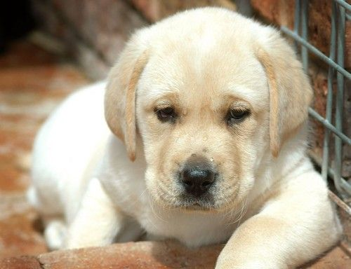 Perro Labrador Retriever