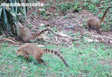 Coatíes en Iguazu
