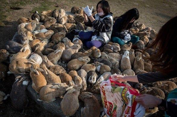 Isla de los Conejos en Japón