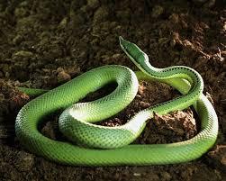 Serpiente nariguda