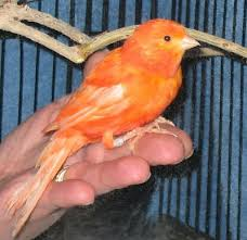 Canario posado en la mano