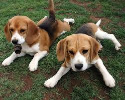 Raza Beagle de perros