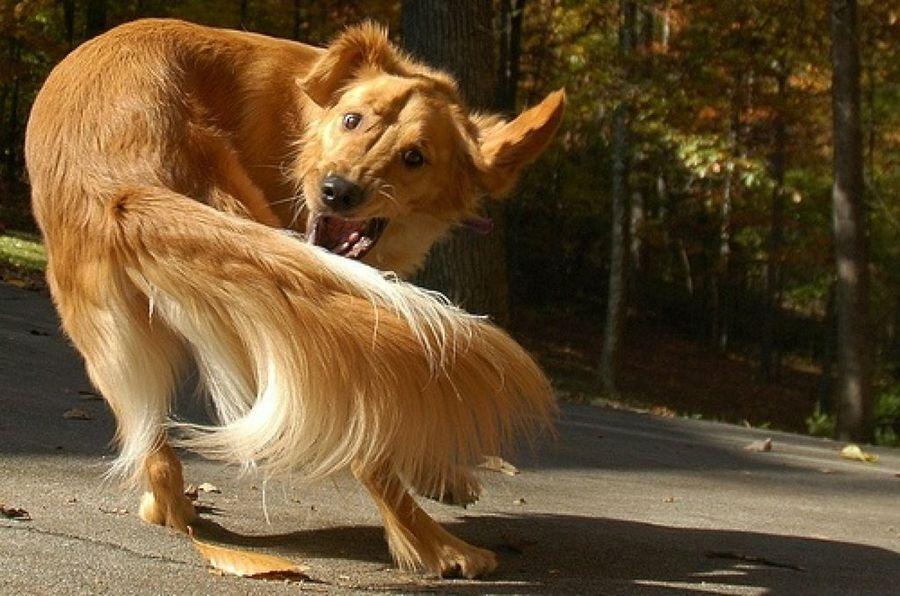 Perro juega con su cola
