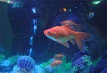Acuario de peces dorados