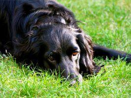 Perro oliendo la hierba