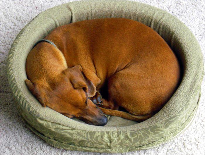 Perro en su cama descansando