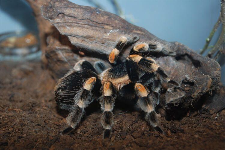 Araña de rodillas blancas