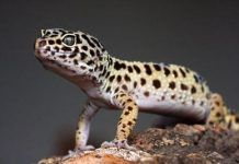 Geco leopardo observando