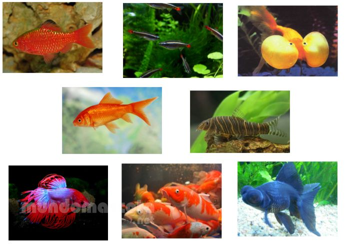 Peces de agua fr a para tu acuario una alternativa muy for Especies de peces
