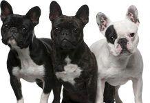 Familia de Bulldog francés