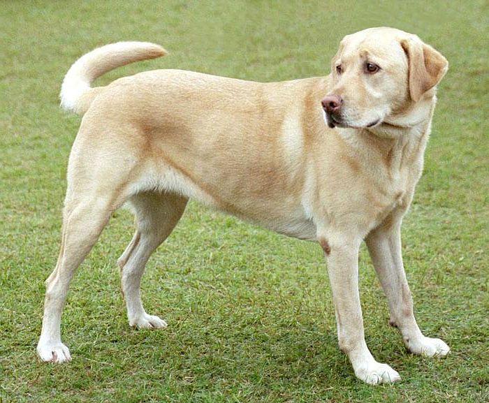 Labrador en el césped