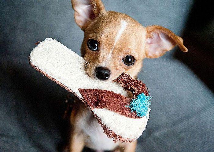Chihuahua con juguete