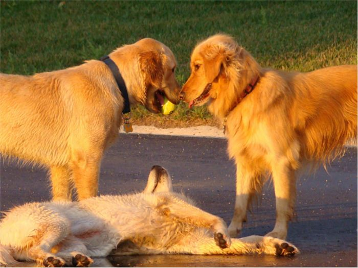 Perros encantados con su pelota