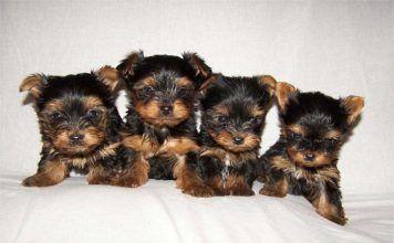 Cachorritos de Yorkshire Terrier